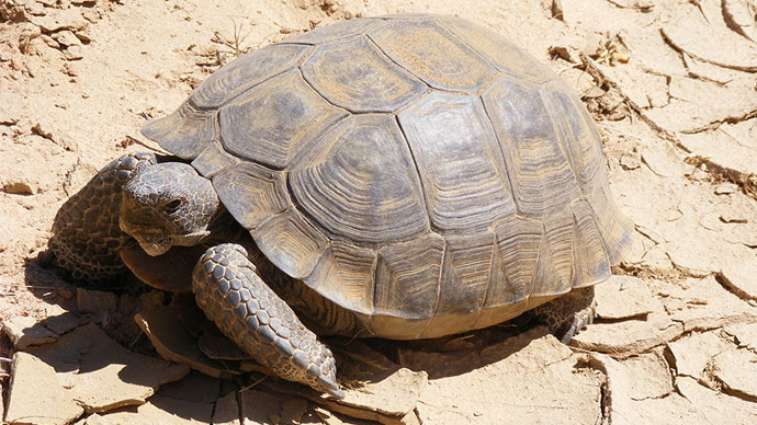 Government plans to euthanize hundreds of threatened desert tortoises it was supposed to protect