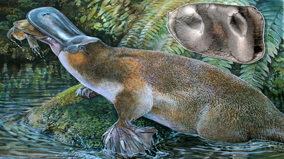 This undated handout image shows an artist impression released by Peter Schouten of a newly discovered species of an extinct platypus, Obdurodon tharalkooschild, discovered in Queensland and a photo (inset) released by Rebecca Pian showing the tooth of the platypus (AFP Photo / Peter Schouten / Rebecca Pian)