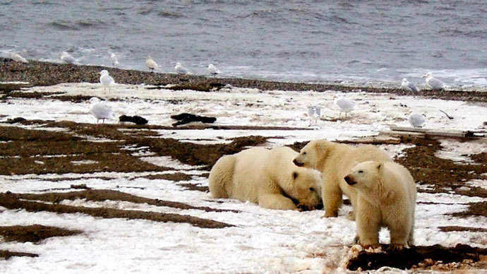 Bear scare: Crowds of polar predators 'besiege' Russian Far East town