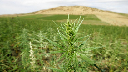 View of cannabis plantations in the northern Moroccan Larache region. (AFP Photo / Abdelhak Senna)
