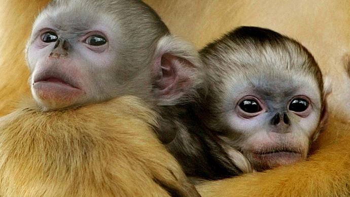 First custom monkeys created through precision genetic manipulation