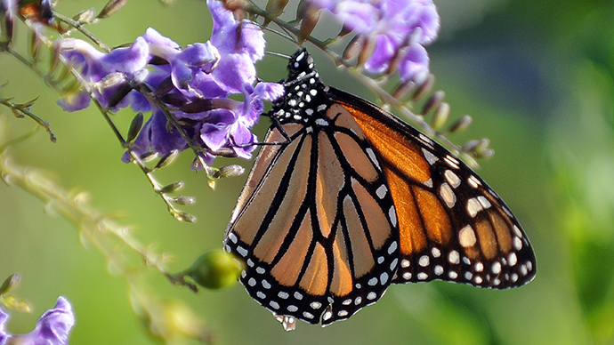 Monsanto blamed for disappearance of monarch butterflies