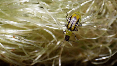 Corn rootworm on the roots of a corn plant. (Photo by Sarah Zukoff / flickr.com)