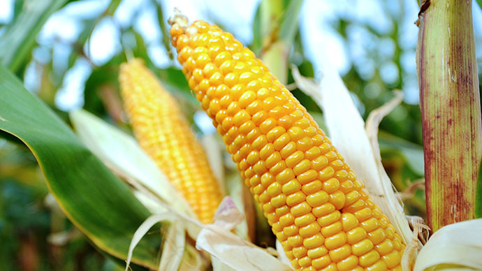 ​US corn exports to China drop 85 percent after ban on GMO strains – industry report