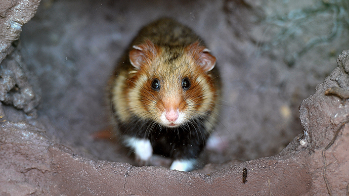 Great Hamster of Alsace, Hunawihr, eastern France (AFP Photo)