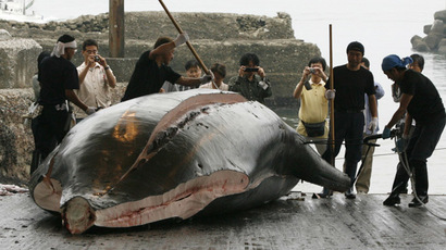 Workers butcher a Baird's Beaked whale at Wada port in Minamiboso, southeast of Tokyo (Reuters/Toru Hanai)