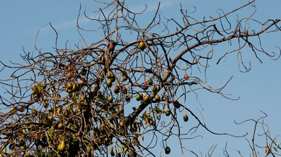 Avocados hang from a dying tree in a grove that is being left to die because of the rising cost of water near Valley Center, California. (David McNew / Getty Images / AFP)