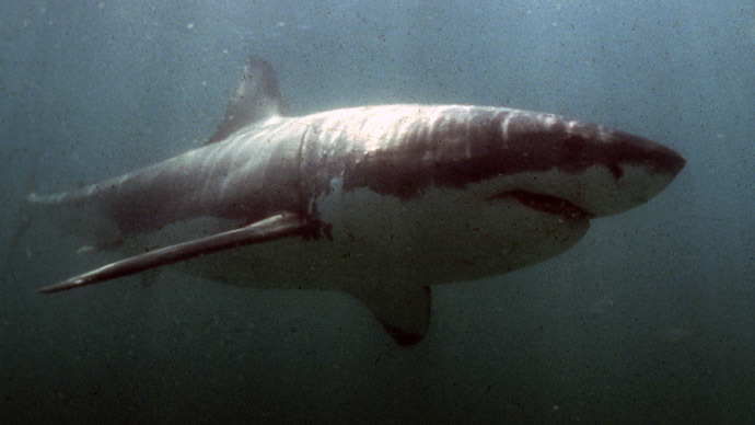 A Great White Shark (Reuters)
