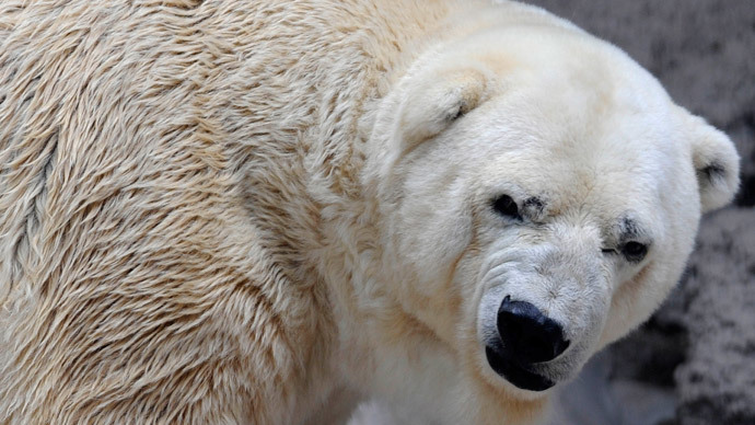 Arturo, the only polar bear in Argentina, living in captivity at a zoo in Mendoza.(AFP Photo / Andres Larrovere )