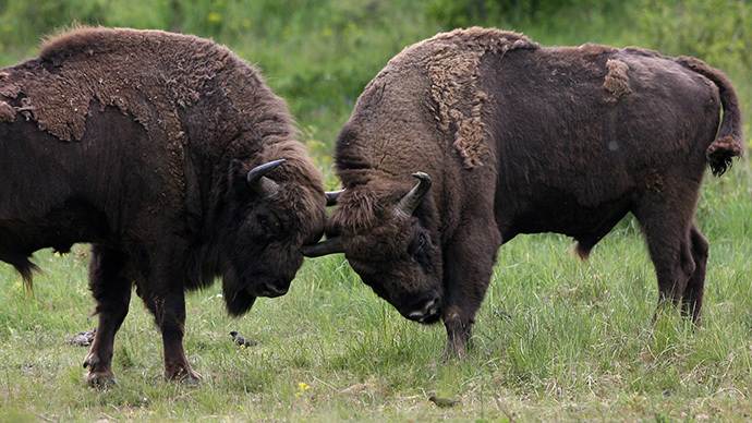 Feds want to repopulate US with genetically pure bison