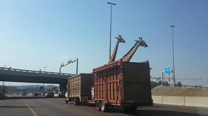 Giraffe dies after smashing head on low highway bridge