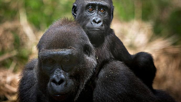 gorila da planície Um bebê monta nas costas de sua mãe no santuário primata executado pelo Fundo de Apoio Wildlife Camarões no parque nacional de Mefou, nos arredores da capital Yaounde (Reuters / Finbarr O'Reilly)