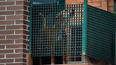 Excalibur, the dog of the Spanish nurse who contracted Ebola, barks from her apartment's balcony in Alcorcon, outside Madrid, October 8, 2014 (Reuters / Susana Vera)