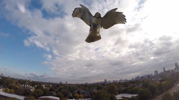 Hawk 1, Drone 0: Bird of prey attacks quadcopter, takes down from skies (VIDEO)
