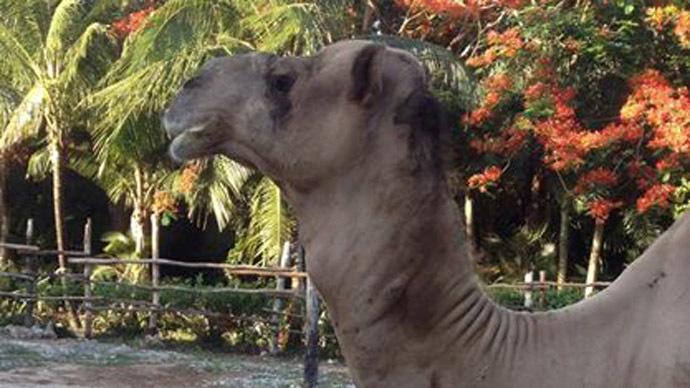 Soda addict? Camel brutally kills Chicago man in Mexico ...