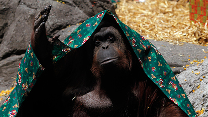 An orangutan named Sandra (Reuters / Marcos Brindicci)