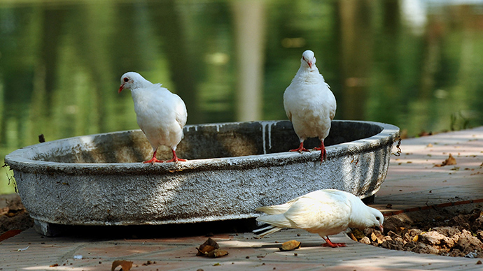 Stool pigeons? Vietnam clears racing birds of 'spying' for China