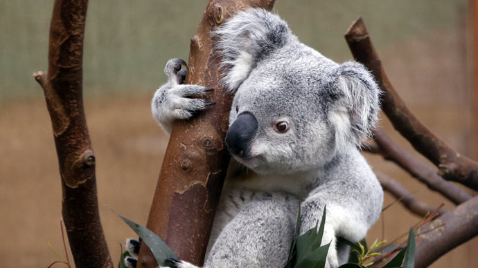 Koala Cull 700 Endangered Marsupials Secretly Slain By