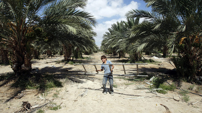 A Palestinian youth works in a date palm orchard in the Jordan valley near the West Bank city of Jericho. (Reuters/Mohamad Torokman)