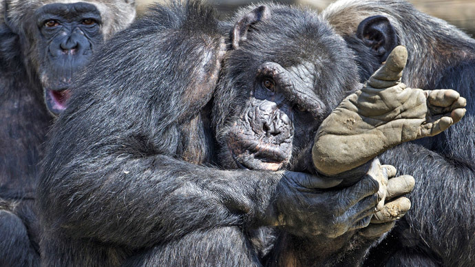 Apes are people too? NY judge grants human rights to chimpanzees