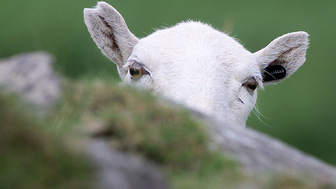 ​'Tasering a sheep is wicked and ridiculous': Police have shot 101 animals since 2012