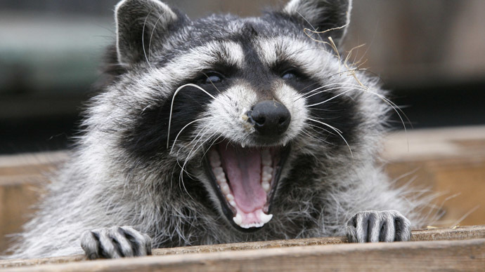 Rampaging raccoons beseige mobile company's office in Moscow (VIDEO)