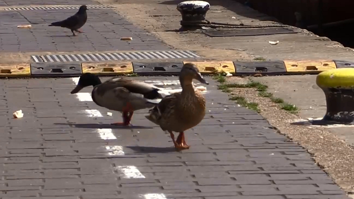 Yield: Duck lanes open in Britain (VIDEO)