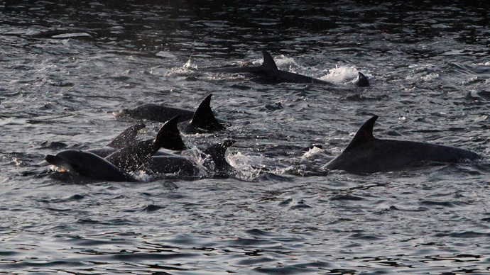 Dolphins are seen at a cove in Taiji, western Japan (Reuters / Adrian Mylne)