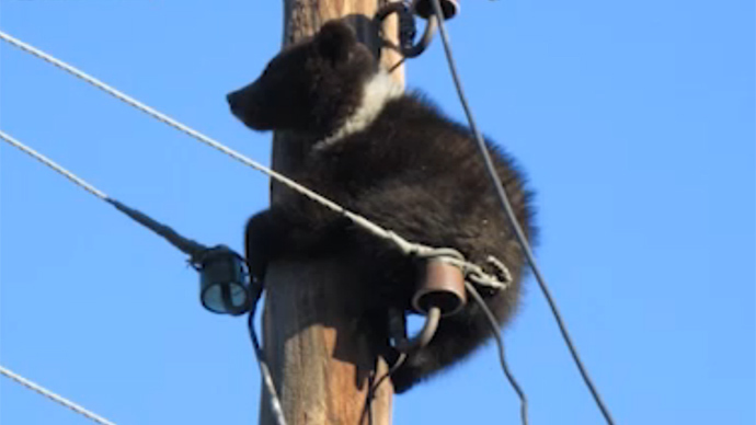 Scared cub climbs utility pole near police station running from poachers in Siberia