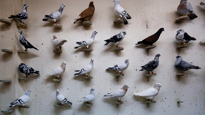 ​ISIS bans pigeon breeding as seeing birds' genitals 'offends Islam' - report