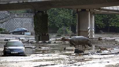 A hippopotamus walks across a flooded street in Tbilisi, Georgia, June 14, 2015 (Reuters / Beso Gulashvili)