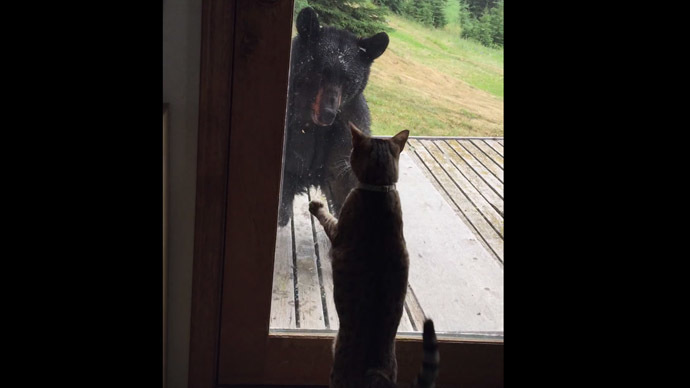 Feline Power Bear Falls Off Porch Attacked By House Cat