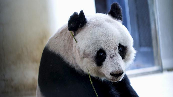 Panda power: Hong Kong specimen to set world record for longevity