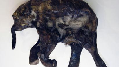 Mammoth Lyuba goes to Asia (RIA Novosti/Aleksandr Erochin)