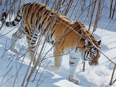 The Amur tiger (RIA Novosti / Zhivotchenko)