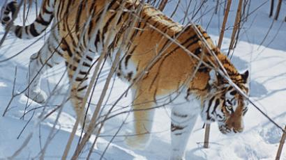 The Amur tiger (RIA Novosti / Zhivotchenko)