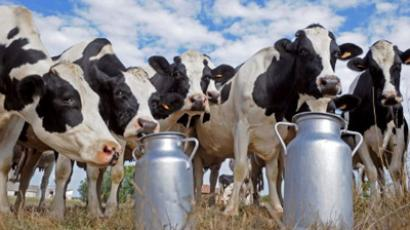 Cows stand by milk churns set (AFP Photo / JEAN-PIERRE MULLER)
