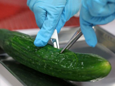 A biologist dissects a cucumber on May 30, 2011 at the regional office for agriculture, fishing and food security (LALLF) in Rostock, northeastern Germany. (AFP Photo)