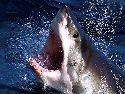 Jaws no more: Australia to kill sharks