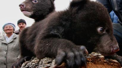 Asian black bear cubs left at safari park in Primorye. (RIA Novosti / Vitaliy Ankov)