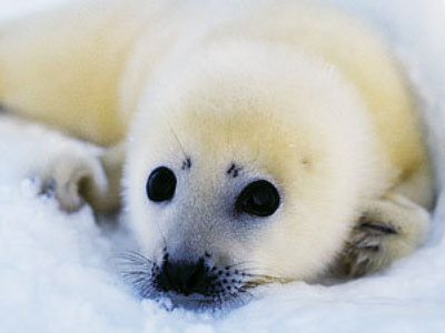 Baby seal hunting banned in Northern Russia