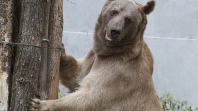 Wild chase: Bear walks into Russian kindergarten, shooed away by police (VIDEO)