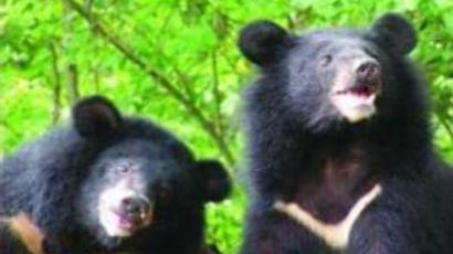 Florida considers hunting ban drop as bear maulings increase