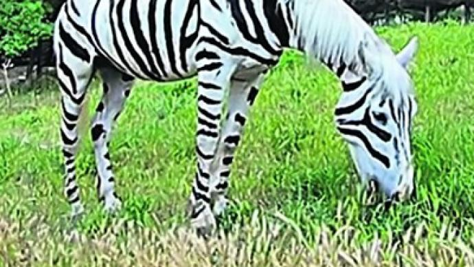 fake zebra seized in ukraine  u2014 rt news