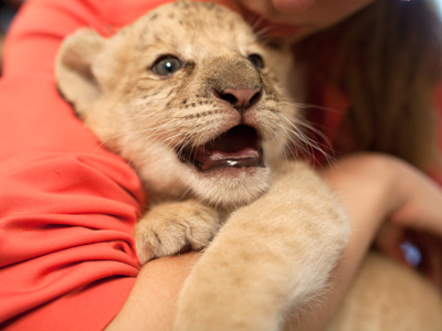Kiara, a hybrid cross between ligress Zita and lion Sam, was born in Novosibirsk Zoo (RIA Novosti / Alexandr Kryazhev)