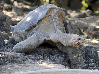 Lonesome George, the last known individual of the Pinta Island Tortoise, is pictured at Galapagos National Park's breeding center in Puerto Ayora, Santa Cruz island, Galapagos (AFP Photo / Rodrigo Buendia)