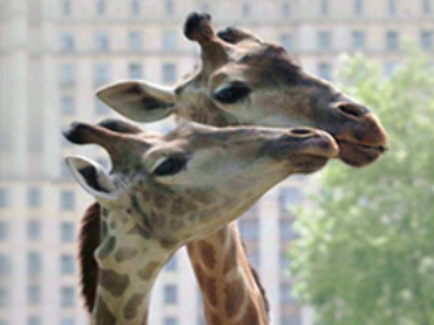 High on love... giraffes together in city zoo