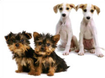 Give the dog a clone: boffins' auction for copy of man's best friend