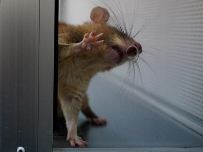 Rat reality show: Russian scientists to broadcast GMO experiment