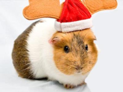 Guinea pig Santa sees eight comrades eaten